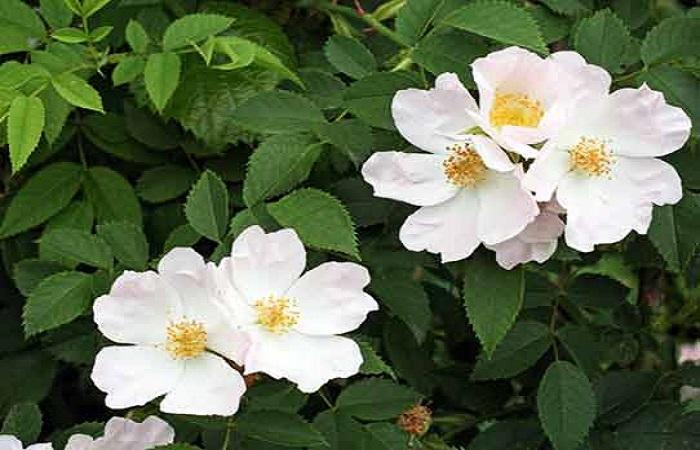 Роза собачья – Rosa canina – самый распространенный вид шиповника. Произрастает в дикой природе, используется в паркостроении. Не требует укрытия на зиму.