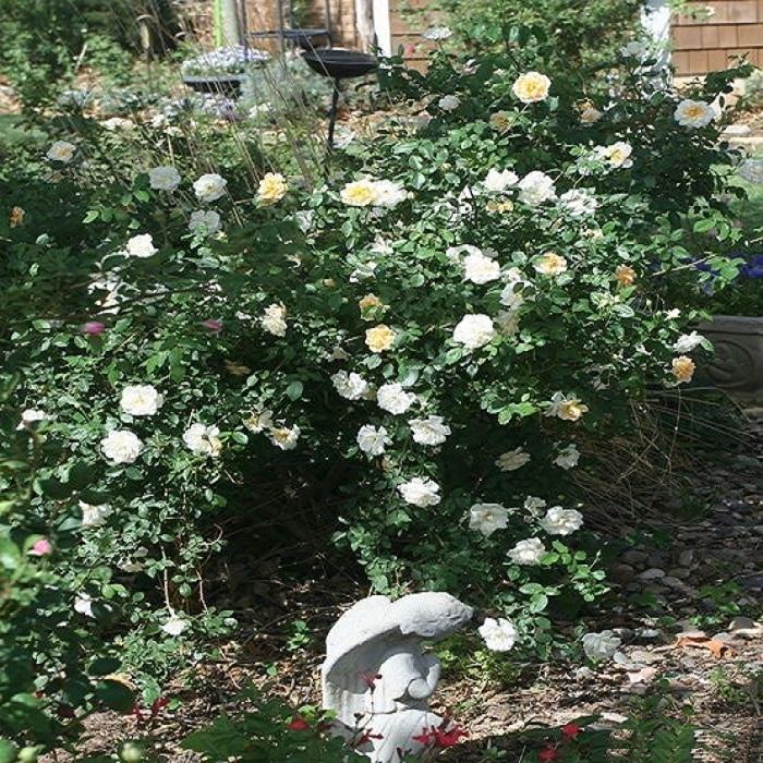 Сорт розы «Danaë», можно использовать, как кустовую розы или невысокую плетистую.