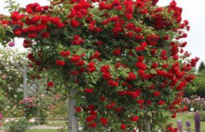 Окраску цветков розы «Симпатия» часто называют кроваво – красной.