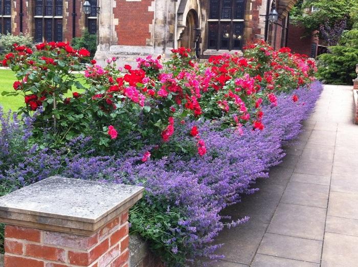 Рядом с розами органично выглядит лаванда, причем не только во время цветения, но и после него. Когда синие цветки сменяют серебристые листья.