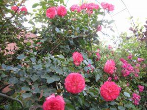 Сила цветения розы Antike зависит от сохранности прошлогодних плетей и освещённости куста.