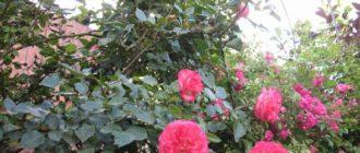 Роза Антика (Antike): описание сорта и отзывы владельцев