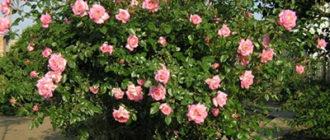 Роза плетистая – сорт Хендель