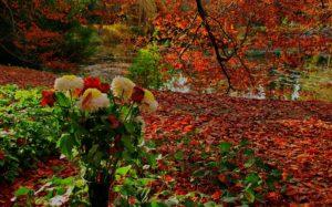 Розы, цветущие до поздней осени нужно не жалеть, а обрезать на букет.