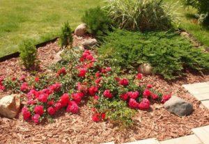Стелющиеся формы роз лучше переживают холода, чем прямостоячие.