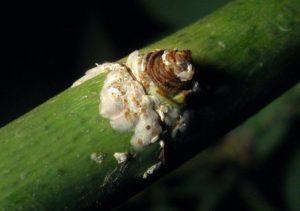 Личинки щитовки могут быть занесены на розу ветром с соседних кормовых растений, поэтому важен тщательный уход за всем садом.