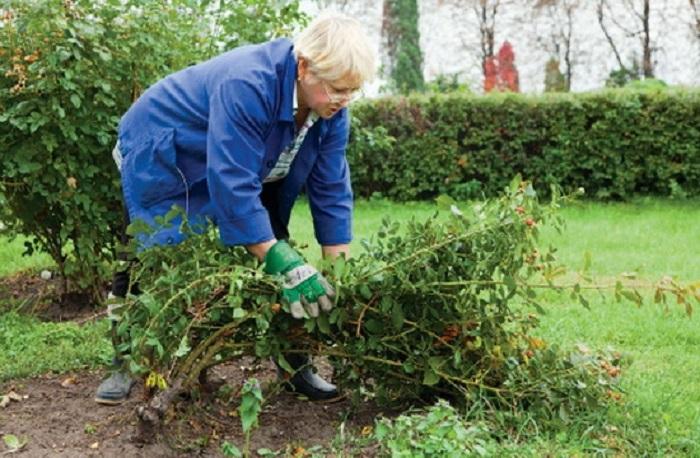 Роза – растение чаще вечнозелёное, и сохранившиеся осенью листья с неё не срезают.