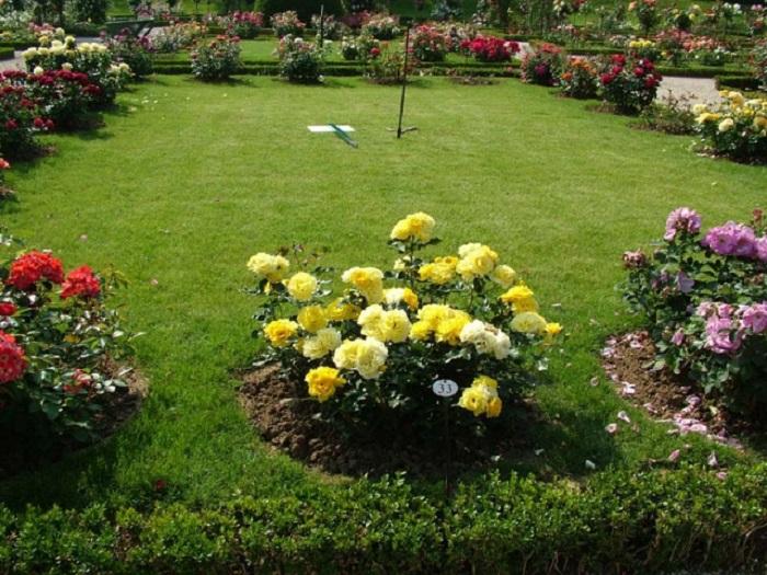 Хорошо ухоженные садовые розы реже поражаются тлёй, чем запущенные кусты.