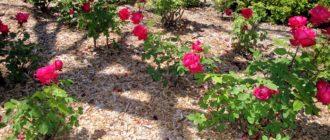 Материалы для мульчирования садовых роз