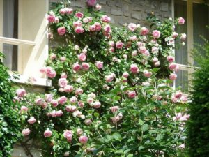 С помощью роз из группы рамблеров можно удачно задекорировать неприглядную стену или забор.