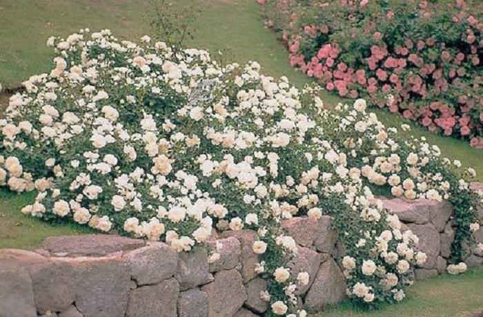 Почвопокровные розы высаживают не только для красоты, они укрепляют почву на откосах