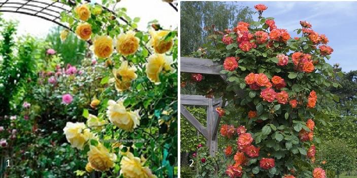 Ароматные плетистые розы с более высокой зимостойкостью, чем сорт «Дана»: 1 - «Golden Celebration», 2 - «Westerland».