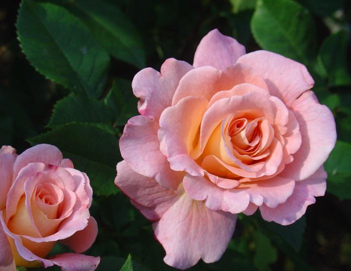 Аугуста Луиза (Augusta Luise) – типичные представитель группы флорибунда, яркость окраски цветков заметно изменяется от плодородности почвы и условий произрастания.