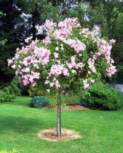 Для формирования штамба для роз лучше выбирать формы шиповника, которые не дают корневую поросль.