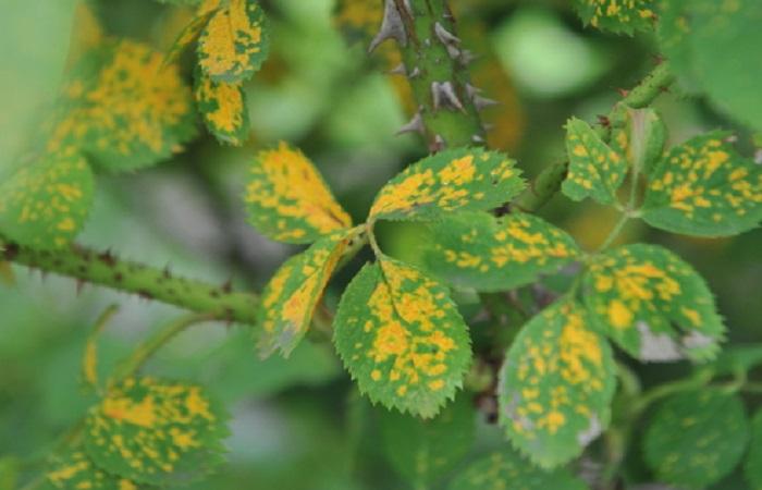 Если на начальной стадии заражения не провести обработку, инфекция распространится по всему кусту и перейдет на соседние розы.