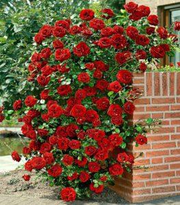 Роза «Сантана» устилает куст цветками по всей длине побегов.