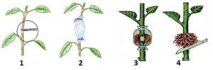 Последовательность размножения воздушными отводками: 1. Формирование кольца. 2. Прикрепление к побегу мешочка с почвой. 3. Поддержание влажности. 4. Отделение укоренившегося отводка от материнского растения.