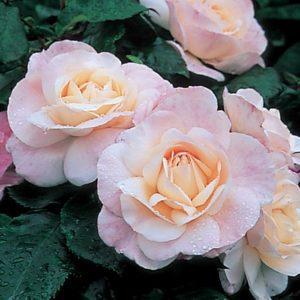 Сорт English Miss окраской цветения близок к «Нью Даун».