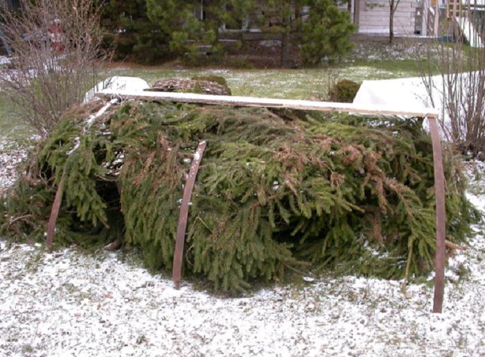 На зиму плети прикрывают лапником. Сверху на каркас натягивают нетканый укрывной материал.