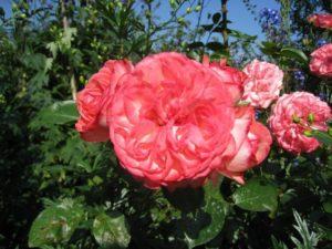 При ведении кустом роза Antike способна занять до 4 м2 площади. Выращивание веером на шпалере или решётке требует меньше места.