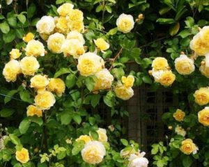 Густые кусты плетистой розы Casino хорошо маскируют неприглядные заборы.