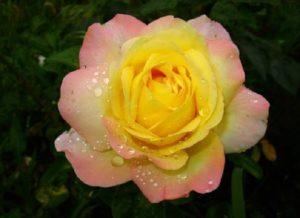 Цветки розы GloriaDei Cl. довольно устойчивы к дождю, но при затяжных осадках цветоносы придётся обрезать, чтобы избежать загнивания бутонов.