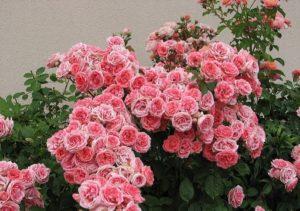 Флорибунды активно цветут в сибирских садах на солнечных, защищённых от ветра участках.
