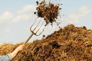 Закладывать в посадочную яму под розы навоз категорически не рекомендуется.