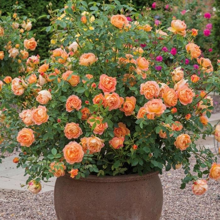 Контейнерные розы меньше болеют, если им обеспечено хорошее освещение.