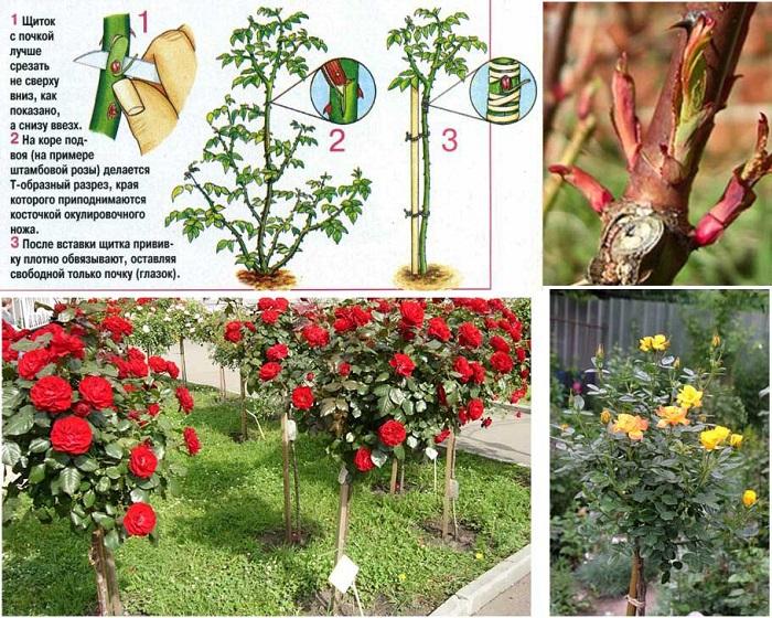 Особенности окулировки садовых роз. Окулировку можно выполнять как в корневую шейку, так и в побег, для формирования штамбовой формы