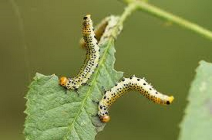 Когда взрослая гусеница достигает земли, происходит окукливание, которое длится 14 дней. Кокон созревает с наступлением тепла. Примерные сроки появления имаго – конец мая. С учетом погодных условий более точное время – цветение садовой земляники. В это время важно не допустить, чтобы гусеница оказалась в почве.
