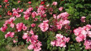 Почвопокровные розы, цветущие все лето для Подмосковья. Рози Кашион - Rosy Cushion - один из наиболее распространенных сортов с момента создания в 1979 году
