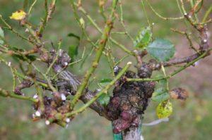 На высокий штамб прививают сорта плетистых роз.