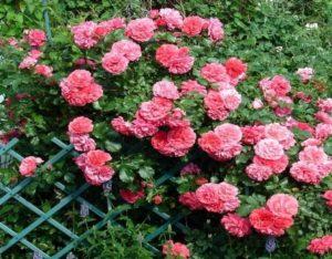 Сорт «Розариум Ютерсен» докрыт ярко-розовыми цветками на протяжении всего лета и осенью до заморозков.
