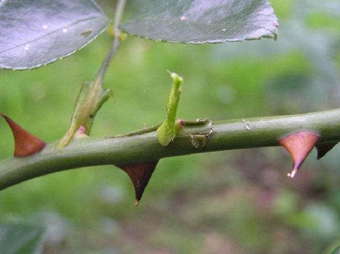 Если летняя окулировка выполнялась в побег, весной он также обрезается над прижившейся почкой