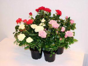 Костная мука полезна для стимуляции цветения и профилактики фосфорного голодания комнатных роз.