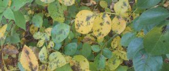 Чёрная пятнистость – не естественный процесс старения листа, а инфекционное заболевание, требующее лечения