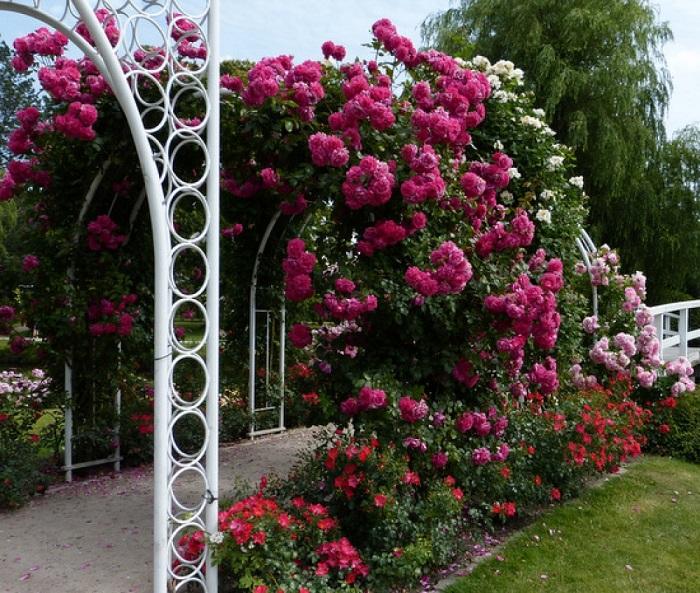 Сорт плетистой розы «Лагуна» (Laguna) на арке.