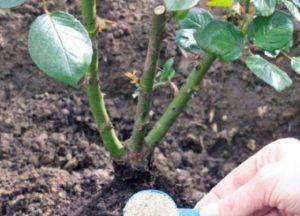 При подкормке розы золой нужно тщательно перемешать ее с почвой и полить.