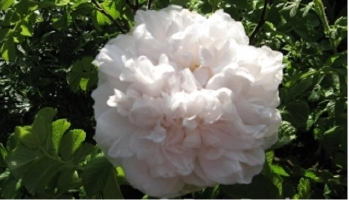 Старый французский сорт «Souvenir de Philémon Cochet» не уступает изысканностью цветения более поздним сортам других европейских коллекций. По сегодняшний день остается одним из популярнейших гибридов, благодаря декоративным качествам и неприхотливости.