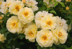 Сорт «Сани Роуз» в буквальном переводе – «солнечная роза», меняет оттенок окраски цветков в зависимости от освещения и продолжительности цветения. В полу тени оттенок светлее, на ярком солнце – насыщенно желтый