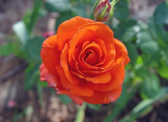 Американский сорт «Zorina» давно и успешно обосновался на евразийском континенте. Успешно выращивается в теплицах и в открытом грунте.Лучшие сорта роз для Подмосковья
