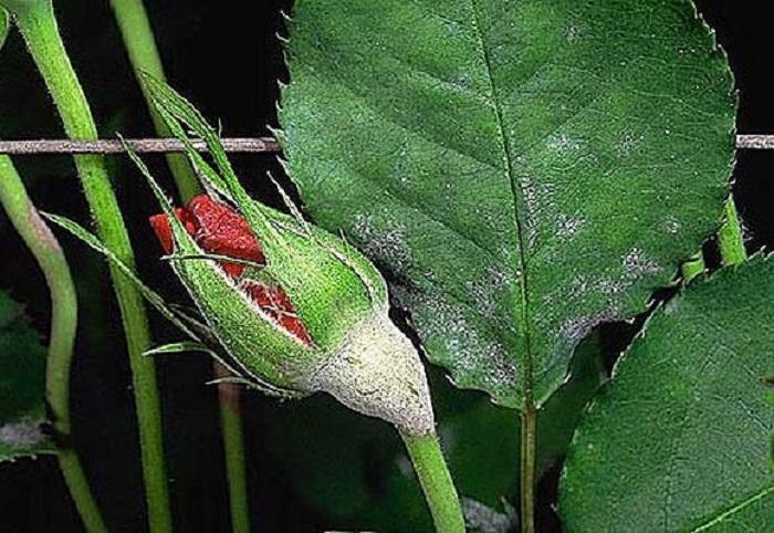 Не стоит дожидаться, когда на розах появятся признаки заболеваний. Лучше опрыскать заранее настоем золы.