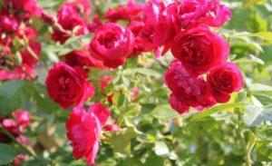 К розам Кордеса относится и знаменитая плетистая роза Flammentanz («танец пламени»).