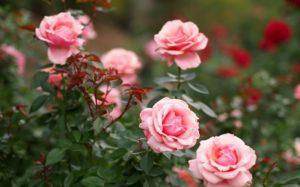 Здоровье роз и устойчивость к вредителям зависит от грамотного подхода к подкормкам.