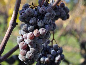 Виноград, пострадавший от серой гнили – источник заражения роз.