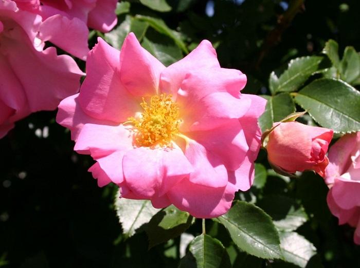 Сорт плетистой розы «Манита» (Manita).