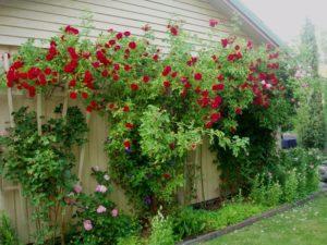 Flammentanz – один из наиболее высокорослых сортов группы плетистых роз.