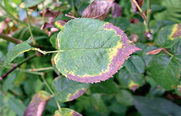 Так выглядят листья розы, когда в почве не хватает калия.