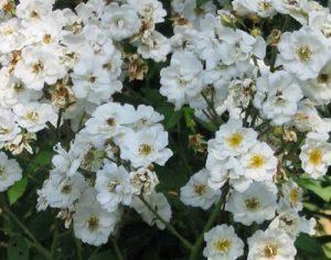 Сорт Rambling Rector отличается формой цветка, не характерной для большинства видов роз. Мелкие лепестки расположены в два ряда, подчеркивают желтую середину густых тычинок.